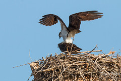 Osprey mating sequences