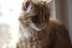 Clem Thursday: Intense Stare (Photo Amy) Tags: red orange cute cat ginger kitten feline tabby longhair adorable precious cuddly cuteness tabbycat ef50mm18 longhairedcat canoneos50d