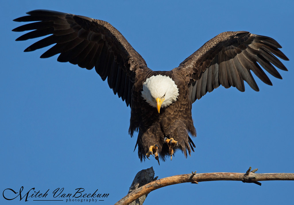 Landing Gear Deployed (Bald Eagle)