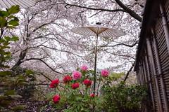DS7_1046.jpg (d3_plus) Tags: plant flower building nature rain japan walking spring scenery shrine bokeh kamakura daily architectural telephoto rainy bloom  cherryblossom  sakura tele yokohama  tamron  kanagawa  shintoshrine   dailyphoto sanctuary 28300mm  shonan  kawasaki thesedays     28300    tsurugaokahachimangu    holyplace tamron28300mm   tamronaf28300mmf3563   a061   architecturalstructure telezoomlens d700   tamronaf28300mmf3563xrdildasphericalif nikond700 tamronaf28300mmf3563xrdildasphericalifmacro tamronaf28300mmf3563xrdild nikonfxshowcase a061n