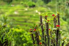 IMG_7961 (aks_19_ak) Tags: bali canon indonesia eos rice bokeh terraces sigma 600d 1750mm tegallalang sigma1750f28os