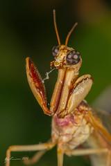 Mantis Fly (R. Francis) Tags: qld queensland felton mantid mantisfly prestbury praymantis austromantispaimbecilla ryanfrancis ryanfrancisphotography feltonvalley