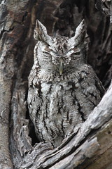 Eastern Screech Owl (jd.willson) Tags: park nature birds rio grande texas state wildlife south birding owl jd eastern owls screech willson screechowl bentson jdwillson