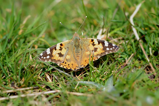 Painted Lady (Vanessa Cardui) [Explored]