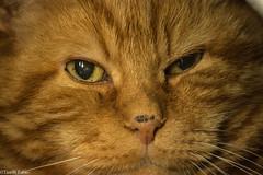 What are you doing? (tinellifabio) Tags: portrait animal canon eyes feline occhi sguardo giallo felino gatto ritratto gatti animale yelloweyes redcat naso muso espressione 600d animaledomestico occhigialli 55250 gattoross