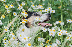 Let's play hide and seek! I am almost hidden,... aren't I? (Janne Fairy) Tags: flowers blumen hund hunde dog dogs animal pet tiere tier haustier jack russel jackrussel outdoor drausen imgrnen canon canon500d eos500d