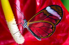 Glass wing Butterfly (absynth100) Tags: butterfly bug flower wings macro insect red yellow orange beautiful closeup colourful