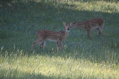 IMG_9141 (thinktank8326) Tags: nature wildlife deer spots fawn whitetaileddeer babyanimal