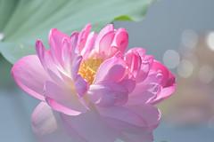 Lotus flower (myu-myu) Tags: pink flower nature japan nikon lotus d500