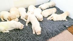 Charlie's family (Mark Rainbird) Tags: uk england dog canon puppy unitedkingdom retriever charlie binfield powershots100 popeswood