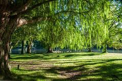 Mclaren Falls Park (Kiwi-Steve) Tags: nz newzealand northisland bayofplenty tauranga mclarenfallspark trees nature nikond90 nikon