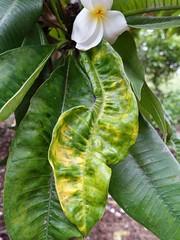 Plumeria: Powdery mildew (Scot Nelson) Tags: plumeria powdery mildew leaf