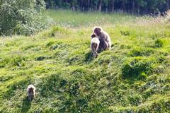 Japanese Macaque's (IMG_8596) (Cameron Burns) Tags: park uk nature animal japan zoo monkey scotland safari national aviemore saru cairngorms kincraig kingussie snowmonkey cairngormsnationalpark japanesemacaque omnivore highlandwildlifepark macacafuscata nihonzaru rzss