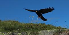 chocard  bec jaune (bulbocode909) Tags: nature fleurs vert bleu ciel vol oiseaux montagnes chocards