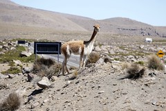 What are they doing? Vicuña in Arequipa Peru (roli_b) Tags: vicuña vicuna alpaca akpaka llama lama cameloid looking for ruta calle street overview arequipa yura salinas y aguada blanca natural reserve peru animal tier