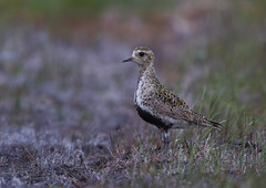 Golden Plover (Martial2010) Tags: golden plover north uist outer hebrides scotlamd canon