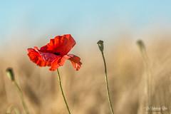 DSC_7090 cran cc (Les Balades de Chris) Tags: flowers nature fleur champs july poppies fields juillet coquelicots