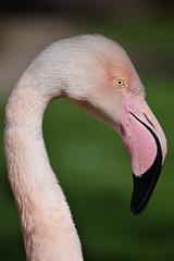 European flamingo @ Burgers' Zoo 20-04-2016 (Maxime de Boer) Tags: europese european flamingo phoenicopterus roseus bird vogel burgers zoo arnhem animals dieren dierentuin