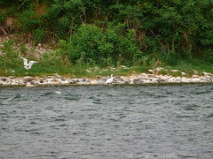 _DSF7523806 (Rosshox) Tags: naturalphotography natura wildlife action animals animali fujifilm fujifilmxs1 volatili