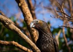 Day 192 Kaka (hmxhm) Tags: newzealand bird nature wildlife olympus wellington kaka aotearoa zealandia project3651