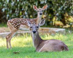 Doe & Fawn (NBTXN) Tags: white animal sanantonio texas tail doe deer spots fawn whitetail momandbaby whitetaildeer selmaparkestates