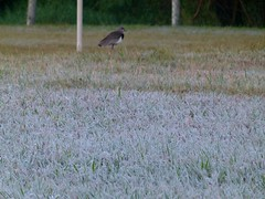 (IgorCamacho) Tags: geada frost frosty southern brasil sul paran natureza nature inverno winter bird pssaro