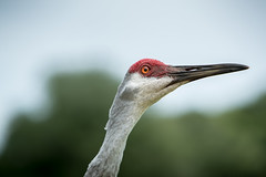 Our Resident Sandhill Cranes (brerwolfe) Tags: centralflorida clermont crane cranes florida floridawildlife home nature neighbors sandhillcrane sandhillcranes wildlife family