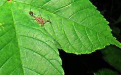 Malhado (biologocelio) Tags: biologocelio fotonaturalismo canon sx60 biologia natureza ecologia vidaselvagem photography nature biology ecology wildlife arthropoda chelicerata arachnida scorpiones buthidae tityus escorpião scorpion