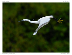 Sur les bords de l'Allier | On the banks of Allier (BerColly) Tags: france auvergne puydedome riviere river allier aigrette littleegret heron greyheron vol flight bercolly google flickr
