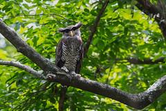 ... Barred Eagle Owl  ... (liewwk - www.liewwkphoto.com) Tags: bird forest canon asia eagle jungle owl malay barred bubo malayisa  strigidae   birdtour barredeagleowl bubosumatranus malayeagleowl sumatranus malaysiabird liewwk  malaysiabirdtour    endemicguides