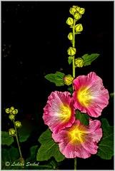 Just Bloomed II (lukiassaikul) Tags: creativephotography nature flora flowers hollyhocks gardenflowers hdr colour