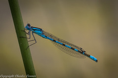 Common Blue Damselfly (cconnor124) Tags: commonbluedamselflies damselfly insects flyinginsects insectphotography uknature loughbricklandlake northernireland naturephotography canon canoneos canon100mmmacrolens