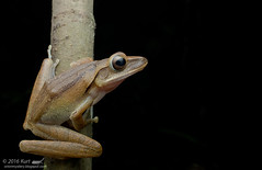 Polypedates leucomystax_MG_1868 copy (Kurt (OrionHerpAdventure.com)) Tags: polypedatesleucomystax fourlinedtreefrog commontreefrog frog frogsofmalaysia tropicalfrogs