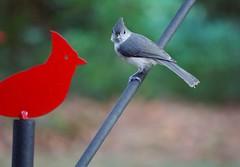 Conversing (rkramer62) Tags: rkramer62 tuftedtitmouse grandvillemichigan backyardbirds july