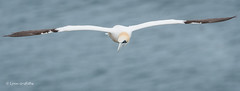Gannet at RSPB Bempton Cliffs D50_1656.jpg (Mobile Lynn) Tags: gannet birds nature wild bird fauna pelecaniformes shag wildlife waterbird waterbirds bempton england unitedkingdom gb