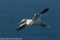 Gannet (Wild About.......) Tags: 1d4 birds british fauna flightshot gannet morusbassanus nature naturephotography rspbbemptoncliffs uk unitedkingdom wildlife yorkshire
