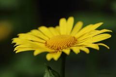 Gelbe Blume (Klaus R. aus O.) Tags: schmuck schnittblume botanik morphologie gelbeblume blume knospe hintergrund bltter pollen stiel unscharf gelb grn canon 650d 650 tamron