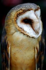barn-owl_080716_2 (kazua0213) Tags: sd quattro sigma macro bird owl