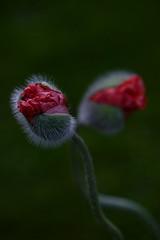 Mohnblume (Grneseis) Tags: blume flower nikon tamron bea