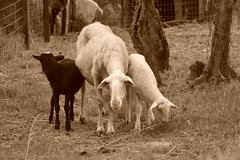 Sheep and lambs (Tenzin Osel) Tags: tuscany countrylife country sheep ewe lambs piandisc nature countrystyle