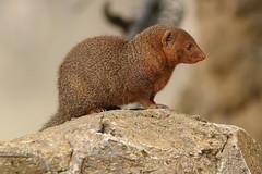 Dwarf Mongoose (charliejb) Tags: dwarfmongoose mongoose mammal 2016 cotswoldwildlifepark cwp burford fur furry furred carnivore