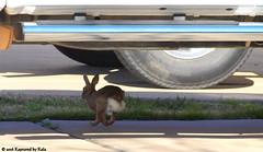 Camera Shy (Kaptured by Kala) Tags: sylvilagusfloridanus cottontailrabbit easterncottontailrabbit cottontail rabbit bunny burlesontexas driveway running runningaway