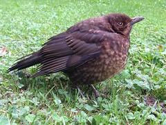 Blackbird (juv) (ny.erik) Tags: sweden skne turdusmerula blackbird iphone5 bird