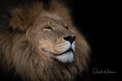 Sleepy (David Whelan Photography) Tags: lion africanlion