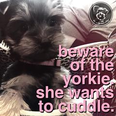 Yorkies are dangerous. Very dangerous. (itsayorkielife) Tags: yorkiememe yorkie yorkshireterrier quote