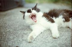 daaaaaaaaaaaaaaaaaaaaaaaaaaaaaaa (sencharlie) Tags: straycat bicolorcat yawn nap canon ae1      film filmcamera