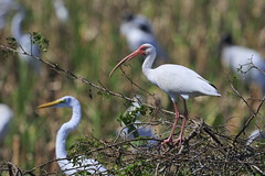 Cocopato (Eudocimus albus) White Ibis 15-03-18-3370 (coyotecorrea) Tags: aves tabasco campeche humedal canoneos birds wetlands waterbirds