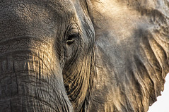 Spell, Chobe National Park, Botswana (Poulomee Basu) Tags: wildwildelephant conservation worldelephantday beauty nikon nikond90 tranquil africa botswana chobe chobenationalpark africanelephant wildlifephotography wildlifephotographer closeup portrait
