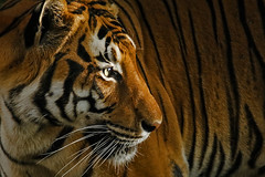 Malayan tiger (pavel conka) Tags: tiger tygr malajsk malayan tigris panthera zoo praha conka animal kawi big cat carnivore
