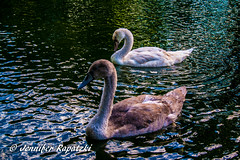Young swan (Bernsteindrache7) Tags: summer spring sony alpha 100 swan animal water wasser pet outdoor park landscape
